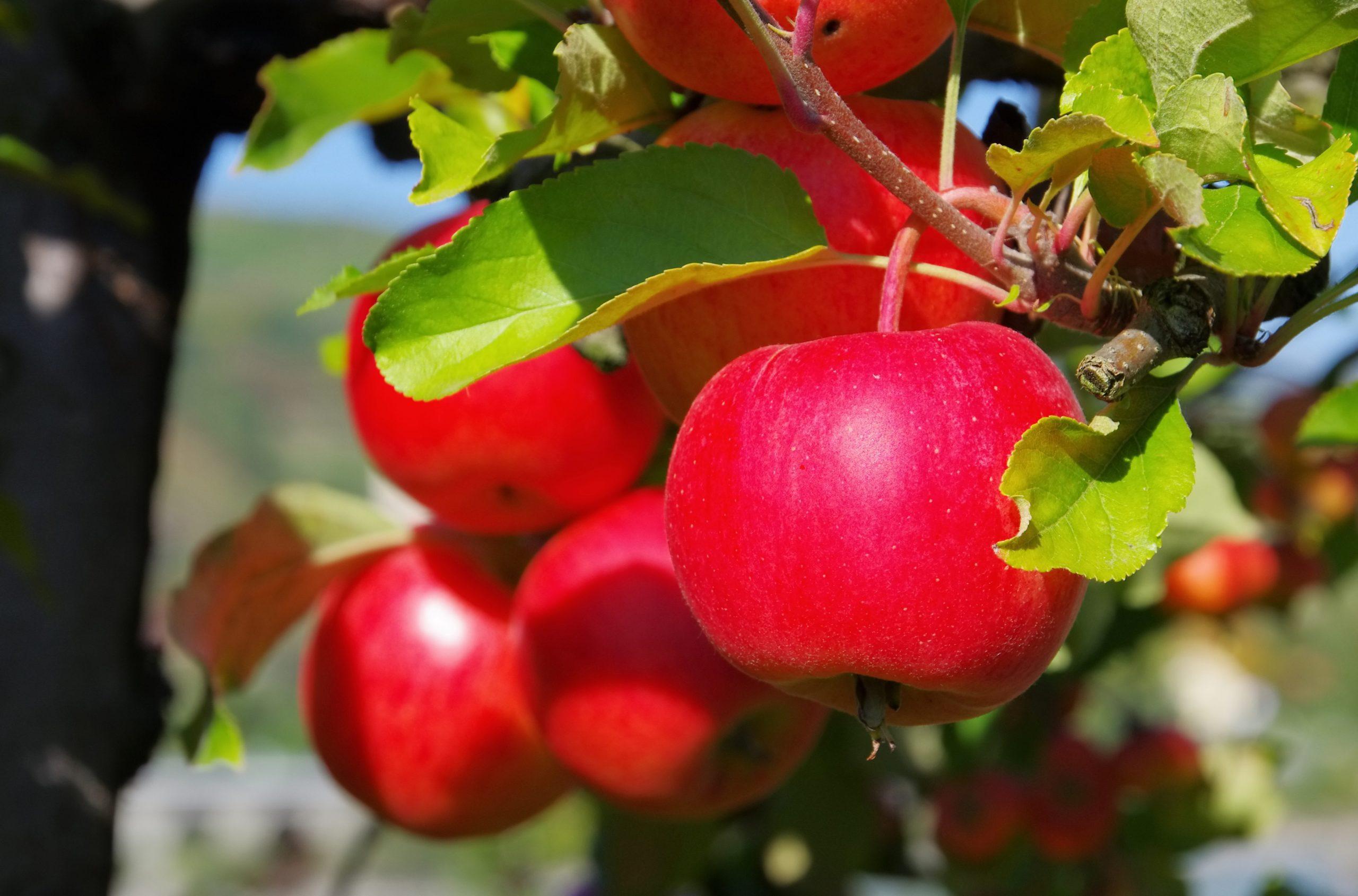 6188209 apfel am baum apple on tree 151 scaled