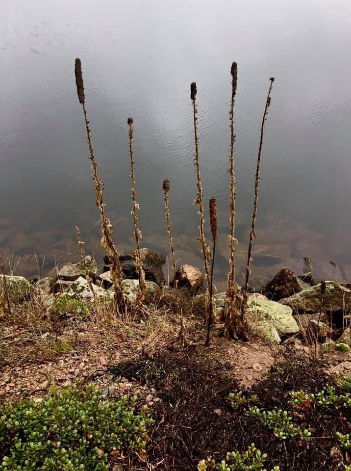 Växter bland stenar vid sjökant