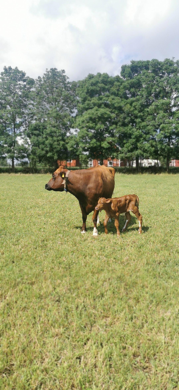 Ko med kalv utomhus