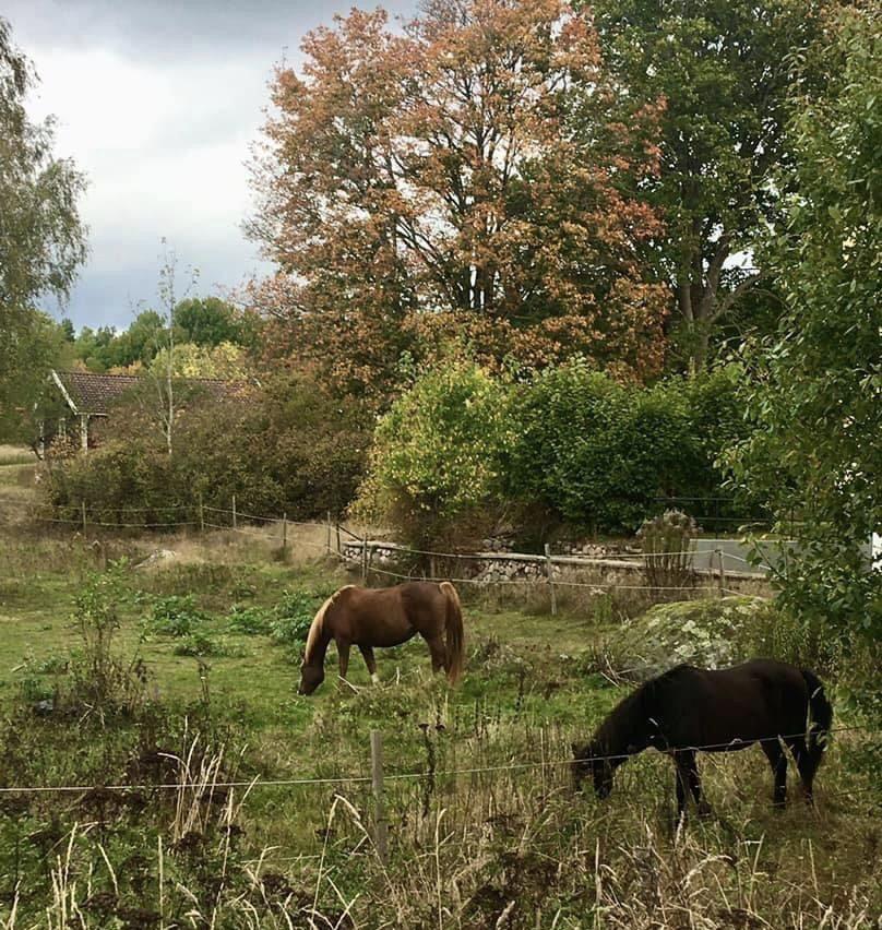 Hästar som äter i hage