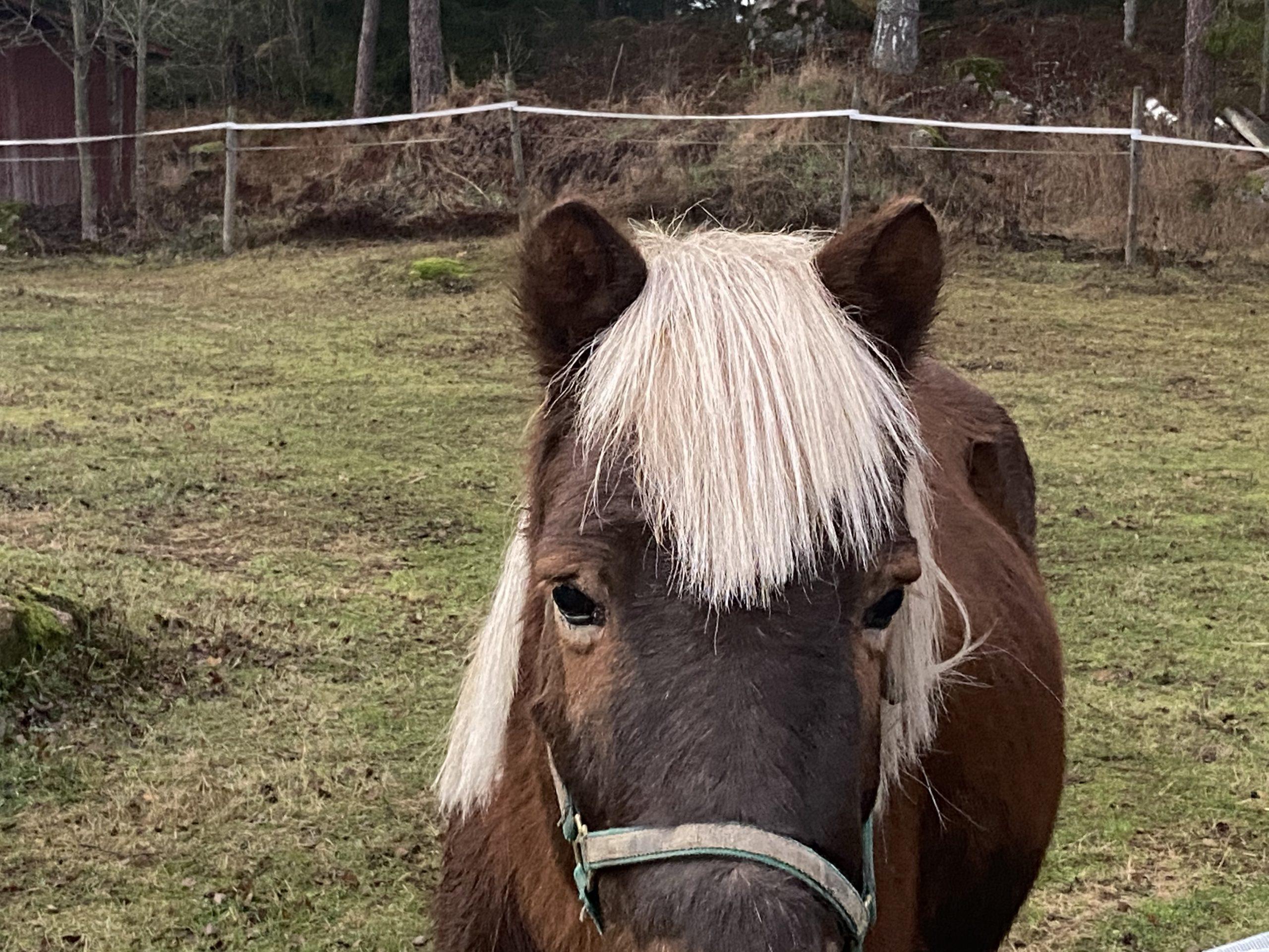 Närbild på häst i hage