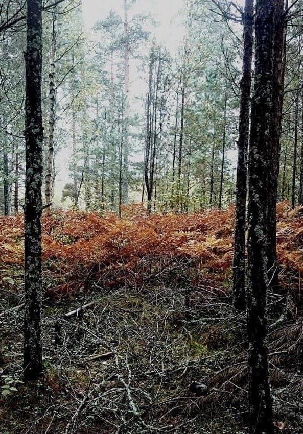 Höstig ormbunke i skogen