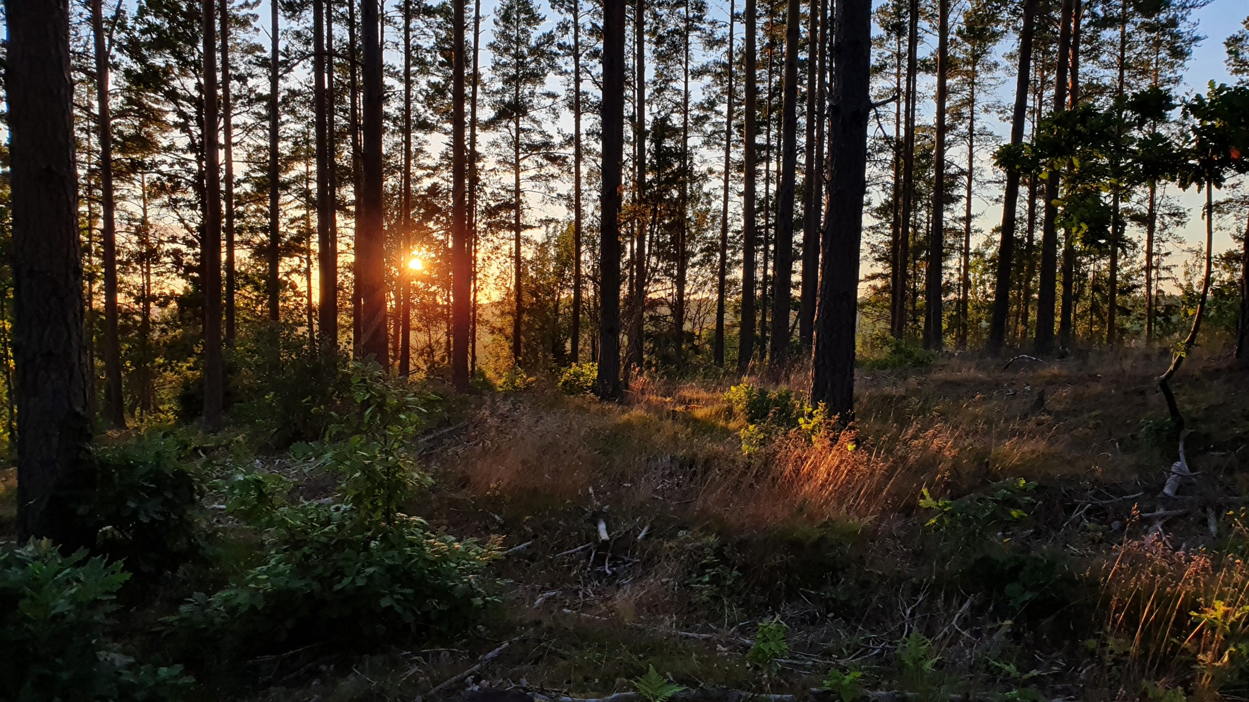Kvällssol genom skogsdunge