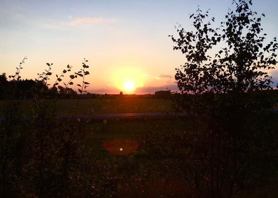 Solnedgång mellan små björkar