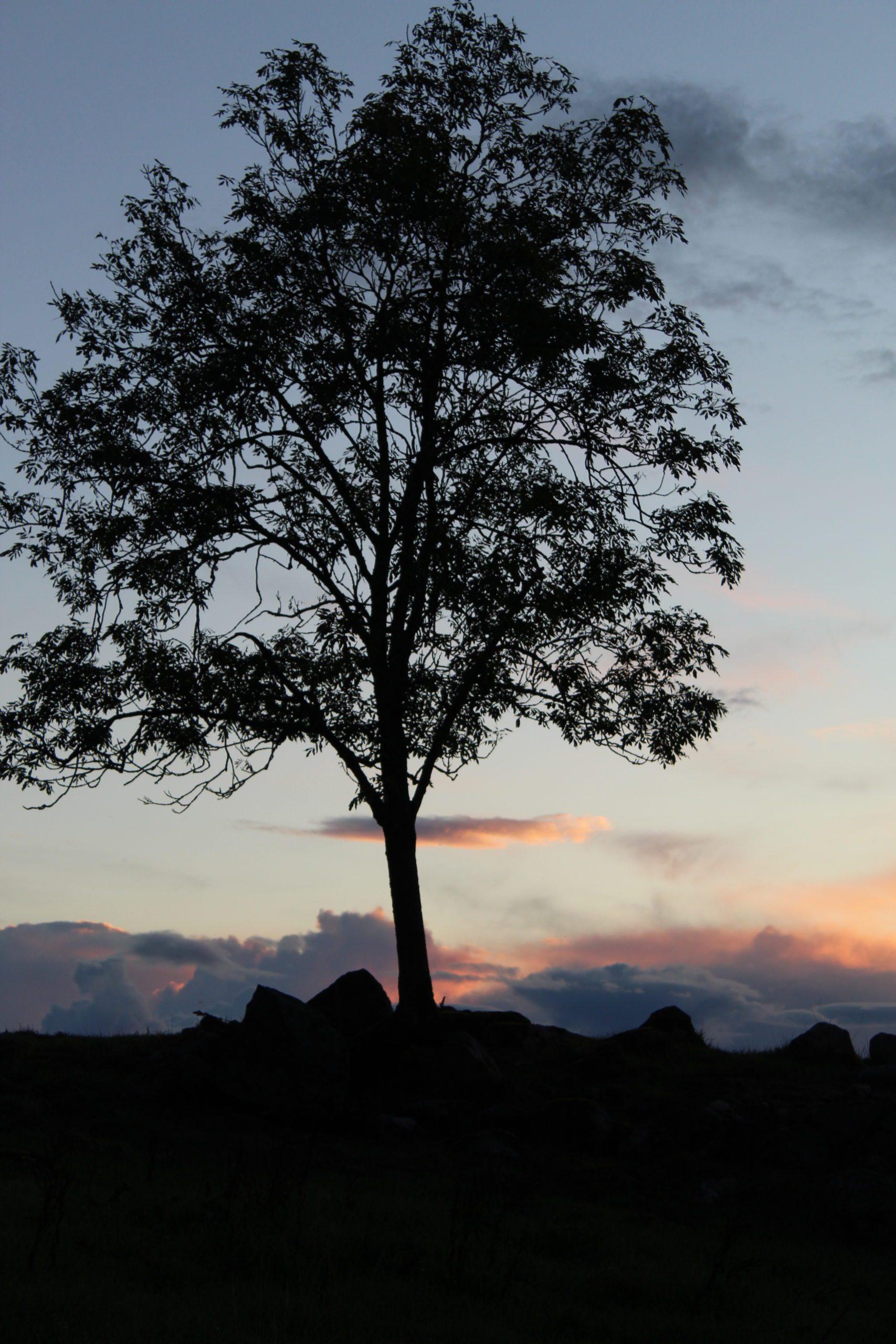 Nattsvart träd bakom solnedgång