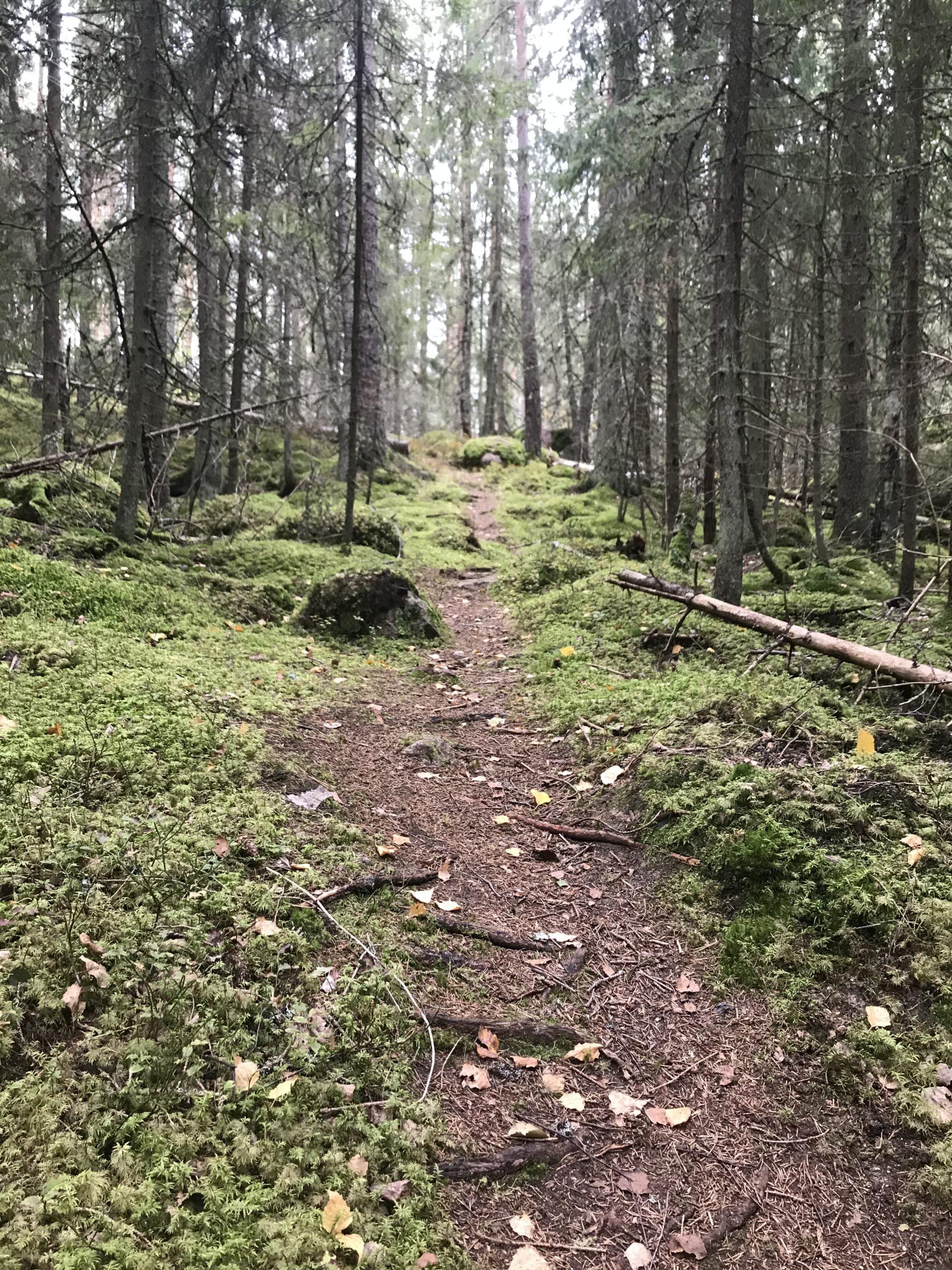 Trollskogsstig bland granar