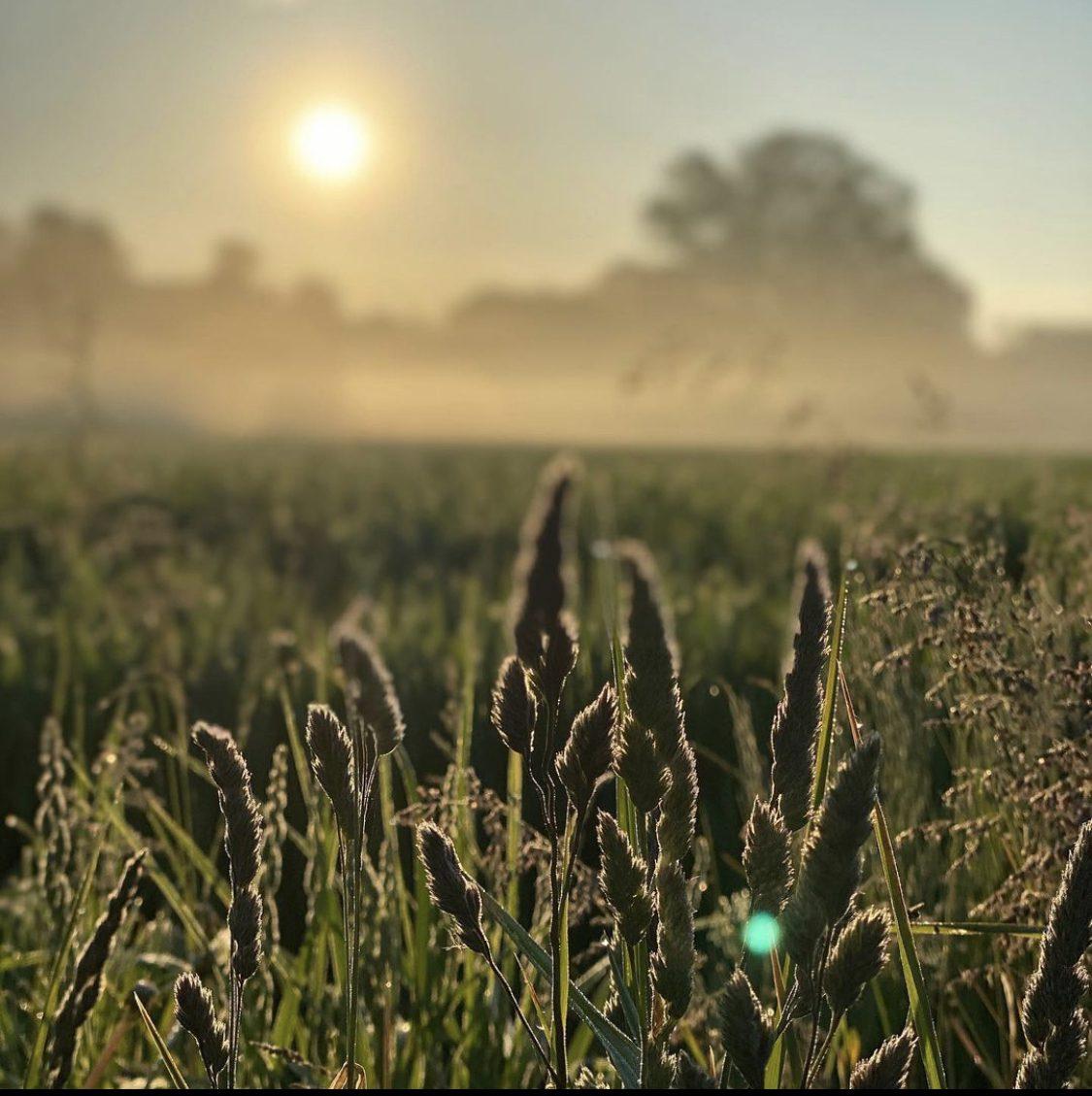 Fält med veteax i solen