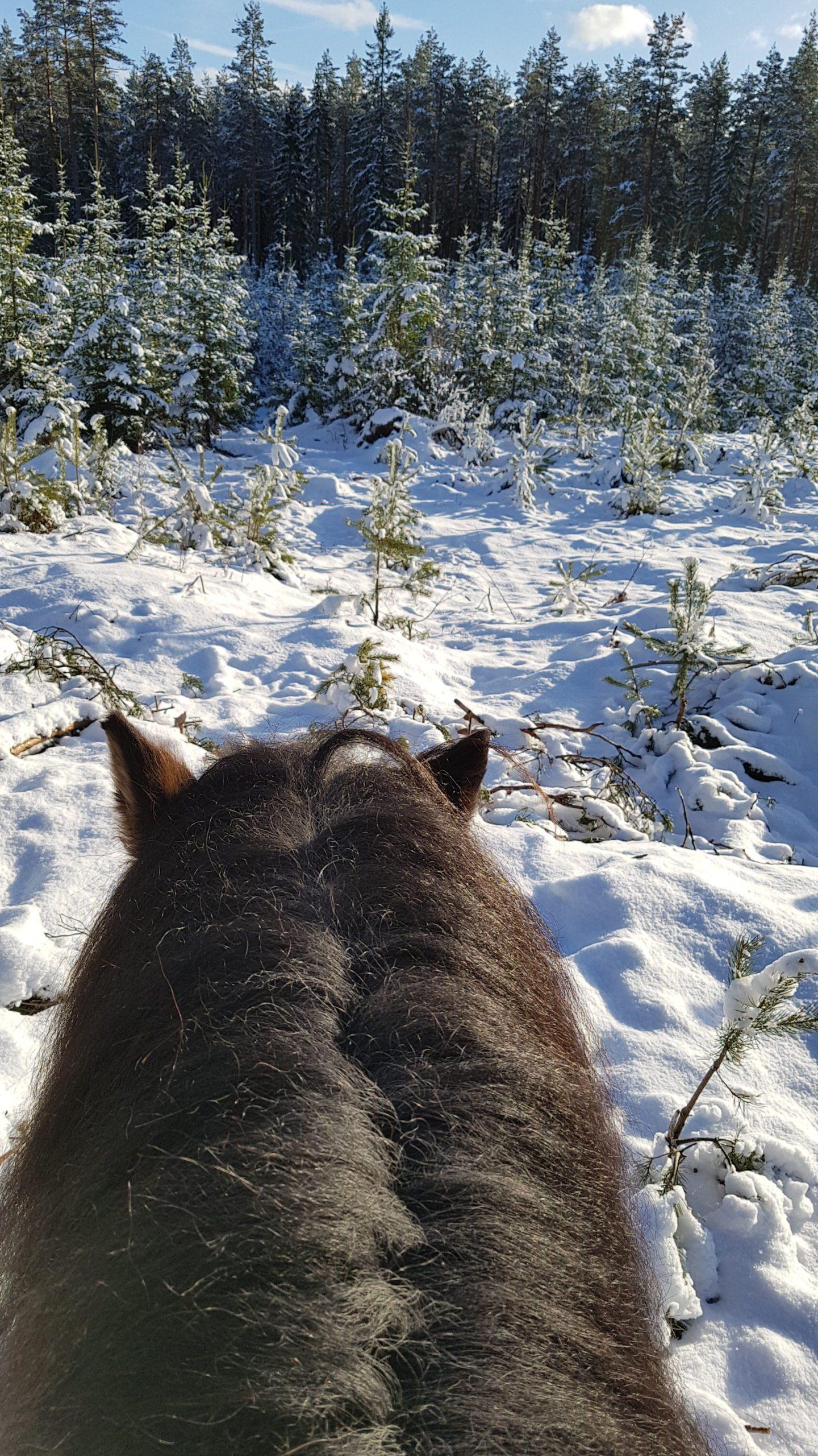 Vy över snöiga granar från hästrygg