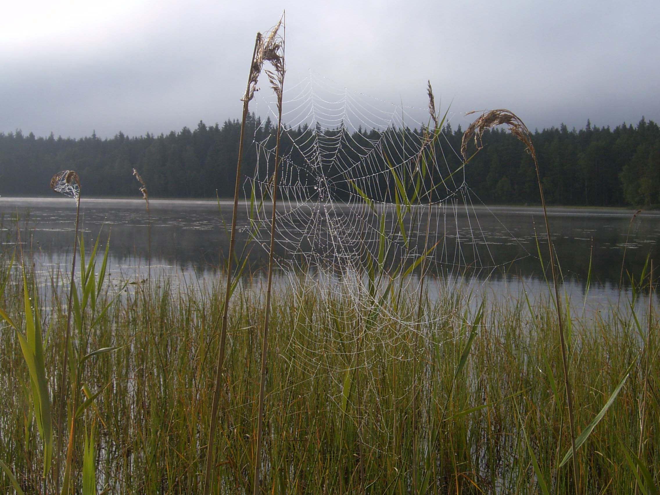 Stort spindelnät i vass framför Stora Åkesbosjön